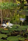 Nymphaea lotus var. thermalis and Nymphaea caerulea.