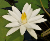 Nymphaea lotus var. thermalis. Closer.
