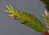 Angraecum podochiloides