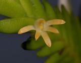 Angraecum podochiloides. Close-up.