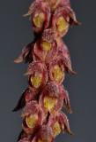Bulbophyllum coniferum. Close-up.