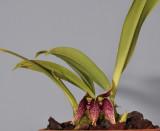 Bulbophyllum sp. sect. Brachypus.
