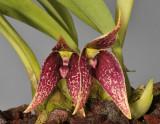 Bulbophyllum sp. sect. Brachypus. Closer.