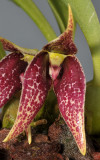 Bulbophyllum sp. sect. Brachypus. Close-up.