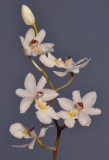Chelonistele maximae-reginae