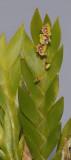 Dendrobium grande