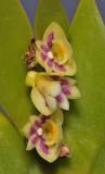 Dendrobium grande. Close-up.