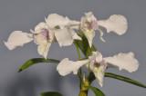 Dendrobium rhodosticum. Closer.