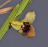 Dendrobium sp. Close-up.