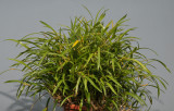Dendrobium angustitepalum