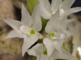 Hymenorchis tanii. Close-up.