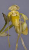 Paphiopedilum philippinense f. alboflavum. Close-up.