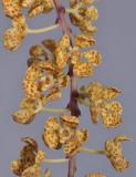 Rhinerrhizopsis moorei. Closer.