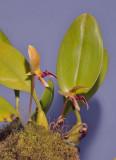 Bulbophyllum hyalosemoides
