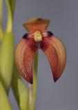 Bulbophyllum lorentzianum. Close-up.
