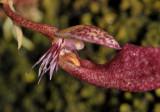 Bulbophyllum mirum. Close-up.