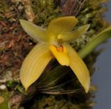 Bulbophyllum pileatum. Close-up.