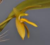 Bulbophyllum pileatum. Close-up side.