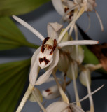 Coelogyne swaniana. Contrasting colour form. Close-up.