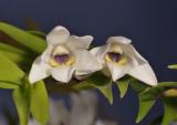 Dendrobium clausum/obliquum. Close-up.