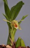 Coelogyne macdonaldii