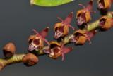 Bulbophyllum resupinatum. Close-up.