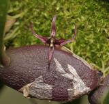 Bulbophyllum sect. Codonosiphon.