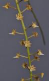 Cleisostoma williamsonii. Closer.