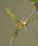 Dendrobium prostratum
