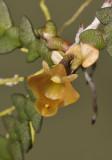 Dendrobium prostratum. Close-up.