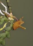 Dendrobium prostratum. Close-up side.