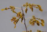 Dendrobium helix. Closer.