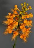 Platanthera ciliaris. Closer.