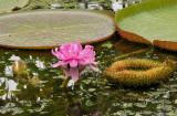 Victoria amazonica Pink.