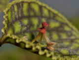 Lepanthes calodictyon. Close-up.