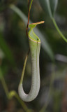 Nepenthes albomarginata green.