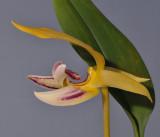 Bulbophyllum dearei. Close-up side.