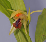 Coelogyne tiomanensis. Close-up side.