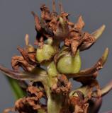 Dactylorhiza praetermissa mutant. Fruit.