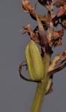 Dactylorhiza praetermissa. Fruit.jpg