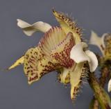 Dendrobium finisterrae. Closer.