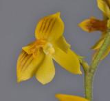 Polystachya pubescens. Close-up.