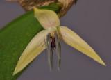 Bulbophyllum nocturnum. Close-up.