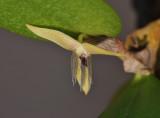 Bulbophyllum nocturnum. Close-up side.