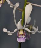 Dendrobium lineale. Closer.