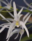 Dendrobium linguiforme. Close-up.