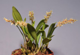 Dendrochilum cootesii