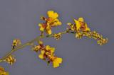 Oncidium ariasii. Closer.