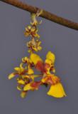 Oncidium ariasii. Close-up.