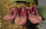 Bulbophyllum frostii. Closer.